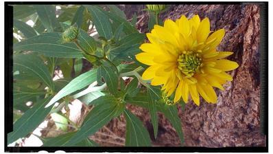 Nasli radcove,  nasli...  Od dnes viem jej meno, Heliopsis helianthoides var. scabra 'Asahi'