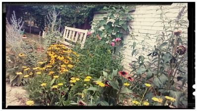 Rudbekie v plnom kvete,  pridavaju sa floxy, budleja rastie a kvety rozvíja... Topinambury od @mrkvakatka nahadzuju puky