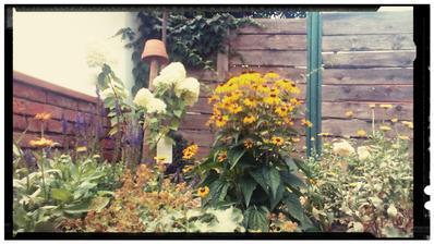 Salvia ma druhe kolo kvitnutia, hortenzia limelight, rudbekia, alchemilka, nechtik kadetade