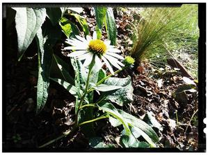 Echinacea alba white,  nove jesenne