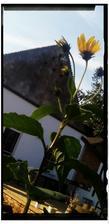 Exinvazivna rastlina uz kvitne