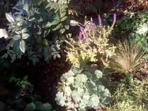 Ponytaily zjemnili zahonky, inak salvia kvitne uz piaty mesiac