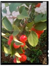 Okrasna jablon sa vyfarbuje