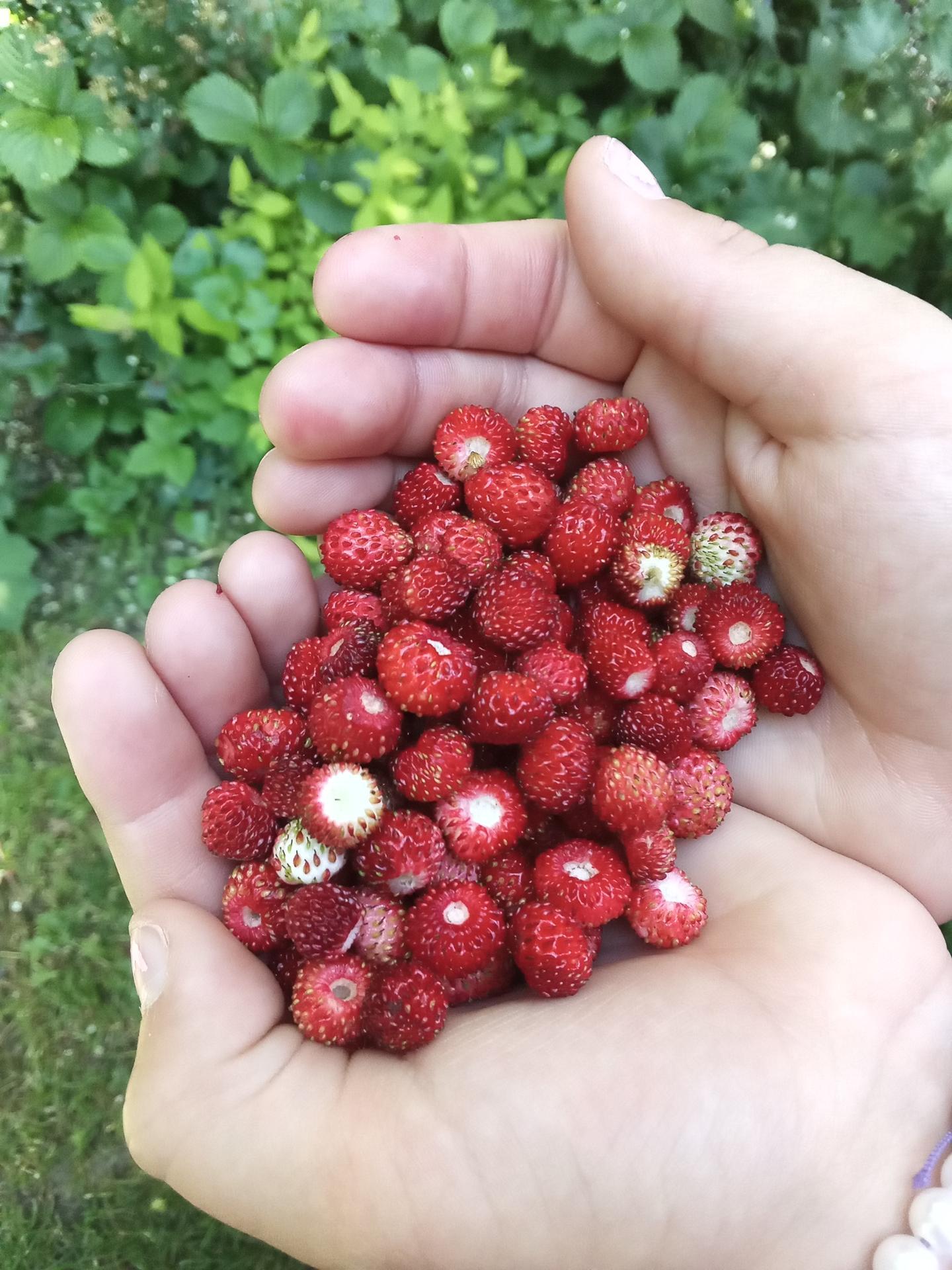 Hradek - Sadenicka lesnej jahodky priniesla casom svoje ovocie 🍓