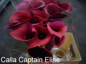 Calla captain Eline