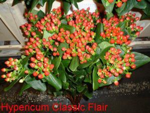 Hypericum Classic Flair...do svadobnej kytičky