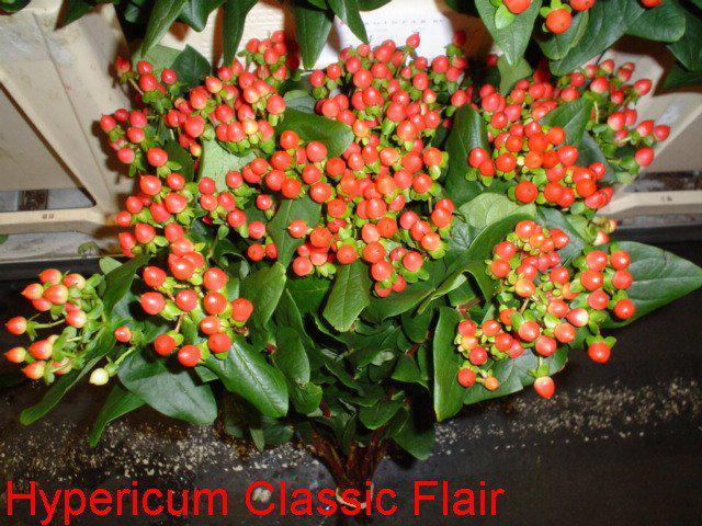 Všetci sa tešííííme... 4.9.2010 :) - Hypericum Classic Flair...do svadobnej kytičky