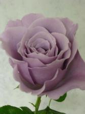 Tahle růže (Sterling Silver) už je sehnatelná:-)D9ky moc, gillian_80, díky Tobě můžu mít kytici podle svých představ:-)