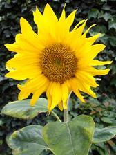 Slunečnice si většinou žijí vlastním životem - někde se vysemení, vykvetou a pokud všechna semínka nesezobají ptáci, celý cyklus pokračuje další rok.