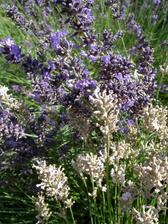 Levandule s posledními kvitky, stále ale hojně navštěvované včelkami.