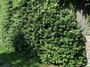 Na nevzhledné zdi máme vyvázanou mochyni. Myslím, že vypadá zajímavě, kvete spoustou bílých kvítků a na podzim ji ozdobí hrozny oranžových kuliček. Ptáci si na nich v zimě pochutnají.