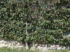 Další část zdi pokrývá hrušeň, letos bohužel hodně zasažená rzí. Hrušeň (stejně jako hlohyni) stačí zasadit k patě zdi, vést jeden hlavní výhon nahoru, natahat vodorovně dráty asi 25 cm od sebe a na ně vyvazovat postranní výhony.