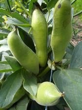 Z italského ostrova Ventotene jsme si přivezli tamní specialitu - výborné obří boby mandlové chuti. A moc dobře se jim daří i u nás. Jsou dobré za zelena jako hrášek i sušené jako luštěnina. Suchá zrna měří až 3 cm.