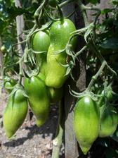 Naše oblíbené Marzano. Je masitější než běžná rajčata a proto vhodné hlavně na tepelnou úpravu, ale i syrové je výborné, sladké.