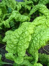 Mangold je u nás moc oblíbený. Připravuju ho hlavně jako špenát - roste rychle a netrpí žádnou chrobou ani ho žádný hmyz nesklízí před námi.