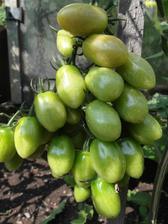 Odrůda iperino z rajčátek koupených v Lidlu.