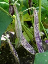 Velké fazolky se už chystají na druhou sklizeň.