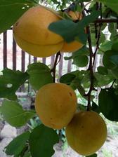 Stará prasklá meruňka unikla v zimě skácení a odvděčila se docela bohatou úrodou.