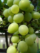 Víno pěstujeme ve skleníku - sazenice je zasazená venku a kmen prostrčený dírou ve skle. Úroda každý rok vynikající.