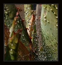Aloe po dešti - už s poupátkem.