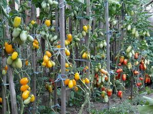 Po několikatýdenním sklízení jich je pořád dostatek. Rajčata se určitě vyplatí pěstovat na zahrádce, protože ta chuť je u nich s kupovanými neporovnatelná