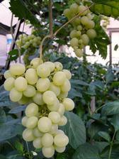 Víno zasazené venku a vedené do skleníku pomalu dozrává. Úroda bude opět parádní a ostatnímu ve skleníku nijak nepřekáží. Jen se musí odstraňovat nerodící výhony, aby příliš nestínily.