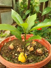 Zkouším avokádový lesíček ze semen posbíraných přes zimu z koupených plodů.