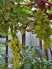 Úroda hroznového vína vypadá letos velmi slibně.