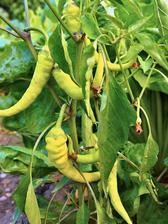 Paprika Kozí roh pěstovaná venku na záhonu.
