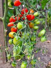 Ipara - maličká, velmi sladká rajčátka, na jednom hroznu jsem jich napočítala i přes 100.