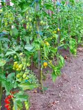 Část našeho rajčatiště, máme asi 35 sazenic.