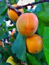 25 let stará meruňka. Před 5 lety jí půlka zašla (napadená kde čím), nebyl čas ji pokácet a letos se odměnila neskutečnou úrodou. Plody má velké jako broskve, krásně zbarvené a chutné.