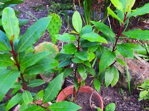 Miminka bobkového listu z loňska se mají čile k světu, problém je přezimování, ale snad se zase povede.
