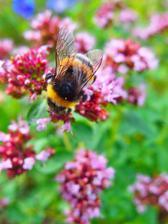 Na dokvétající dobromysli se to celý den hemží čmeláky, včelami a motýlky.