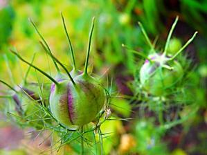 Černucha setá - další nenáročná letnička, sama se každoročně vysemení. Semena - černý kmín, výborné koření.