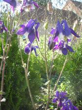 modro-fialovy fesaci