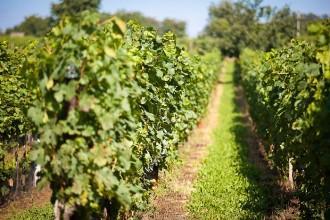 Svatbu ve vinohradu