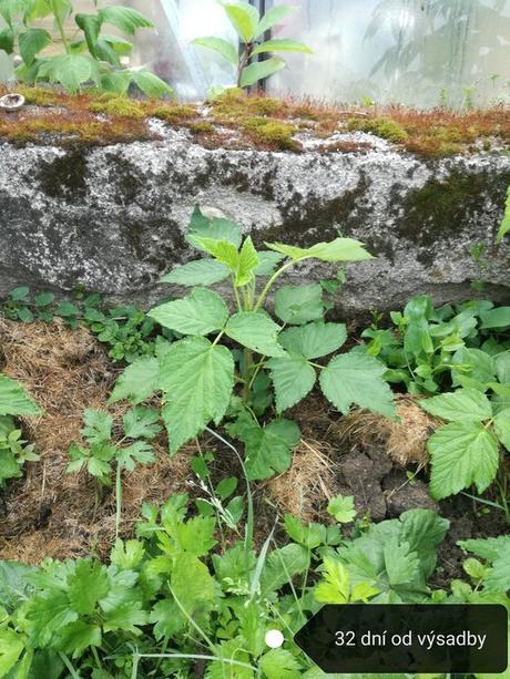 Malina Delniwa - 92 dní úroda od výsadby, Rubus idaeus 10 - 20 cm kontajner 1l - Obrázok č. 1