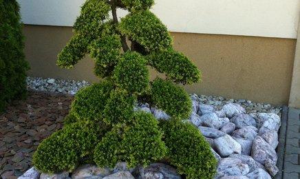 Chcel by som sa opýtať, či niekto máte v záhrade takýto bonsaj. Je starostlivosť náročná a dokiaľ je najlepšie kúpiť? Ďakujem - Obrázok č. 1