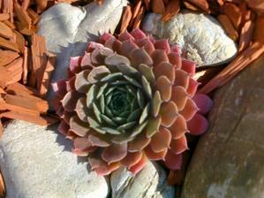 tato skalna ruzicka sa sfarbuje do oranzova:-)