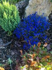 tuto modru kvetinku mam strasne rada:)skoda,ze je to letnicka