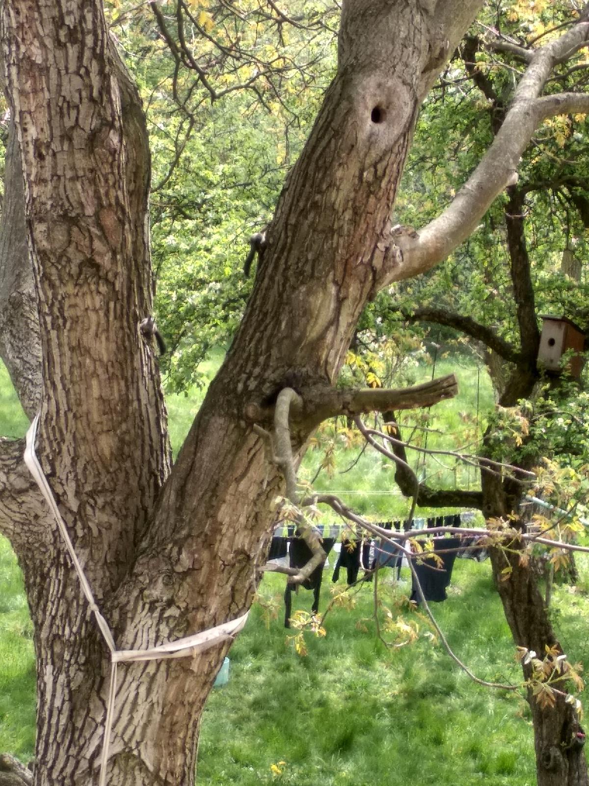 Náš boj - A okrem iného sa nám na orechu urodili 4 malé veveričiatka :) bývajú celá família v tej diere