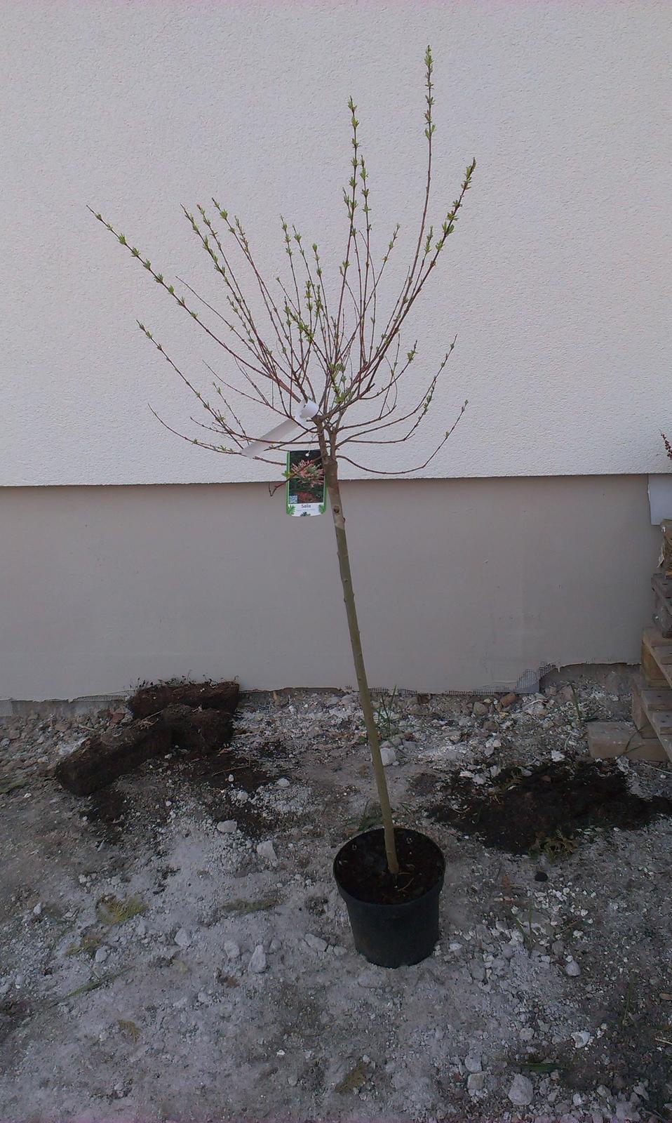 Záhrada - Japonská vrbička - na tú sa obzvlášť teším