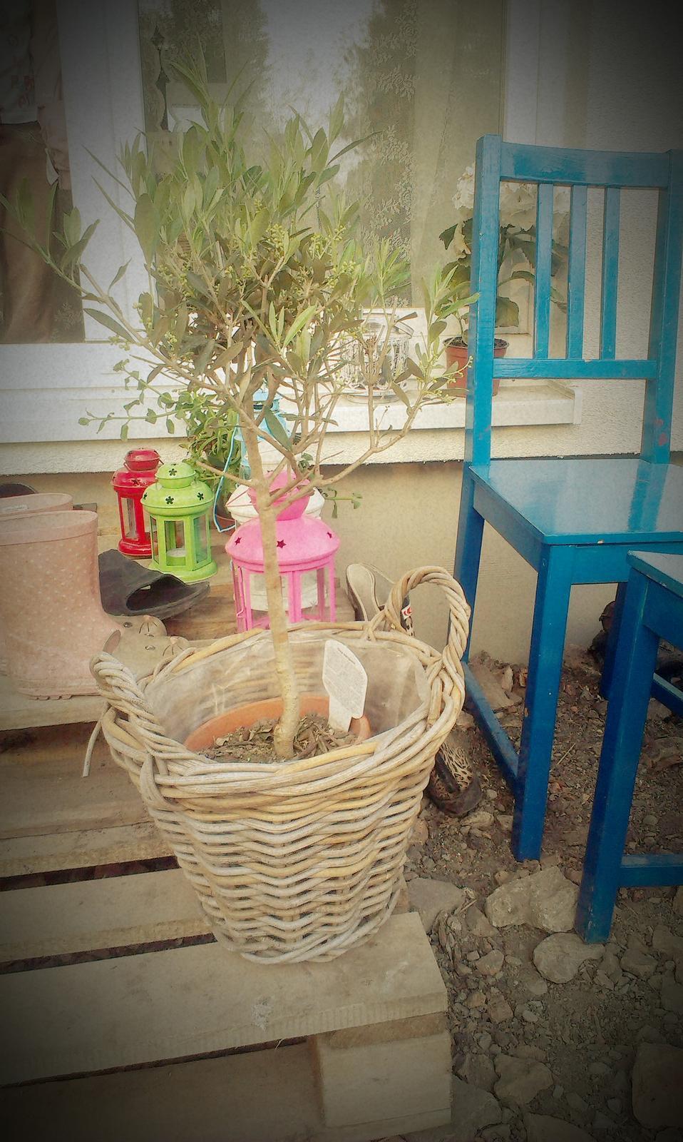 Záhrada - Vytúžená oliva - konečne sa mi ju podarilo zohnať, ešte aby u mňa prežila :-)