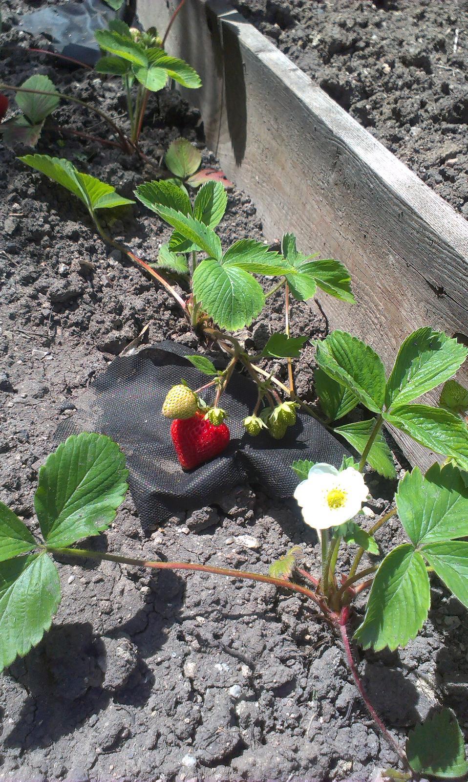 Záhrada - jahoda č. 7 - som zvedavá kedy ich budeme počítať na košíky a zavarené džemy