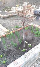 Prunus triloba - tú som už dlho chcela a mám :-)))