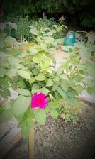 Prekvapenie leta - keď sa kupuje ruža podľa obrázku a čaká sa na výsledok :-)