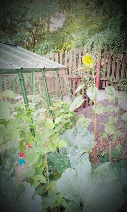 Slnečnica musí byť na každej správnej záhrade!