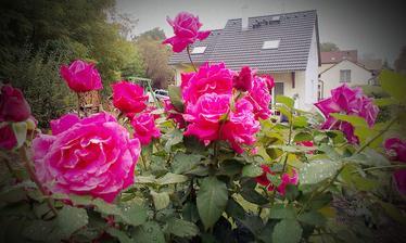 Ruža si dáva 3. kolo tento rok, je nádherná