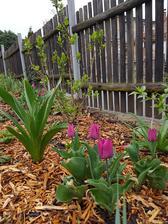 Tento rok sú z klasických tulipanov mini tulipány. Mrazy zastavili rast.